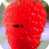 Fruit Workshop I: Pests & Diseases of Small Fruits