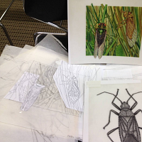 Scientific Illustration—Insects!