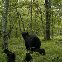 Black Bears In Connecticut: When, Where, And How Many?