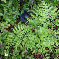 Wild & Native Ferns