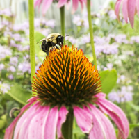 Pollinators with Auerfarm - an Extension Bug Week program