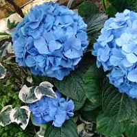 Pruning Hydrangeas: Let's Do It Right!