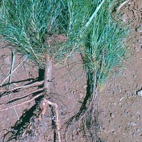 S20/19   Mycorrhizal Symbiosis -The Incredible Relationship of Fungi and Plants